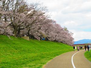 遊歩道から眺める桜並木