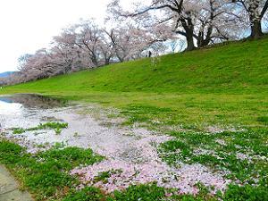 芝生に散った桜