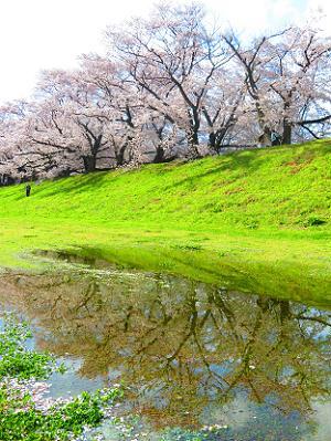 水たまりに映る桜並木