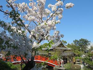 桜と反り橋