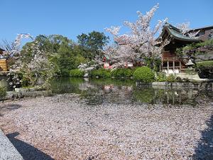 池に散る桜