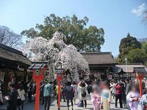 春の平野神社