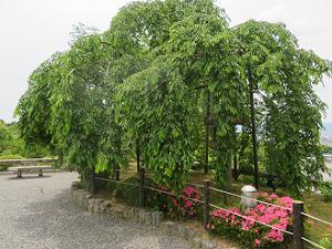 枝垂れ桜とサツキ