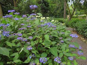 紫陽花園のガクアジサイ