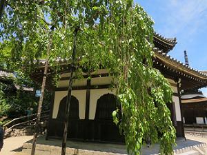 桂昌院お手植えの枝垂れ桜