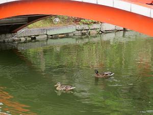 池で泳ぐカモ