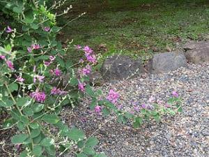 足元で咲く萩
