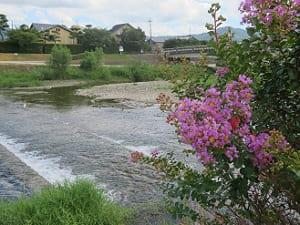 サルスベリと賀茂川