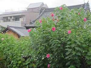 フヨウと山門の屋根