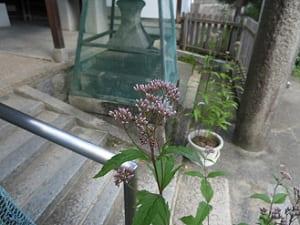 厳島神社のフジバカマ
