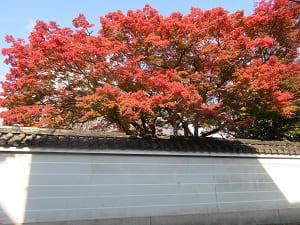 塀からあふれる紅葉