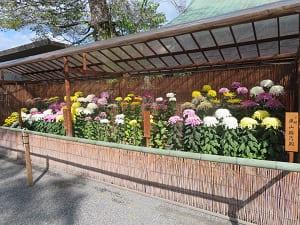 境内に並ぶ菊