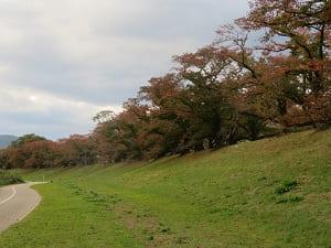芝生と桜の紅葉