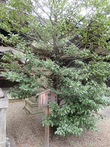 榊のご神木