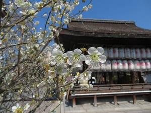 白梅と拝殿