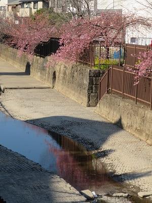 水路と河津桜