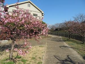 見ごろが近づく河津桜