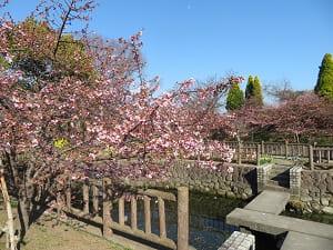 3分咲きの河津桜