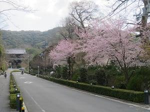 彼岸桜と三門