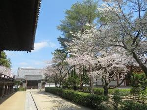 御影堂の東側の桜