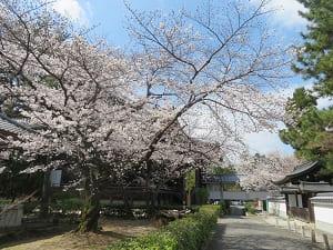 御影堂の裏側の桜