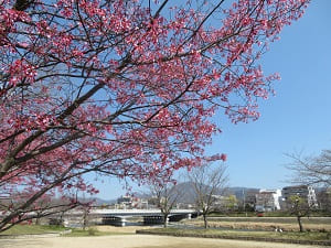 賀茂大橋近くのオカメ桜
