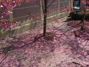 地面に散るオカメ桜