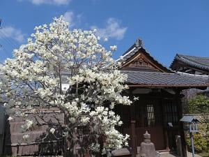 常林寺のコブシ