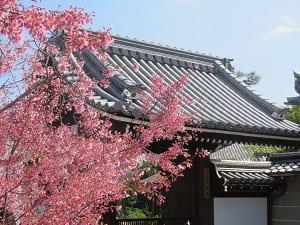 山門とオカメ桜