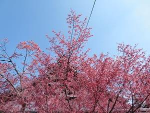 青空とオカメ桜