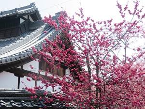 庫裡と寒緋桜