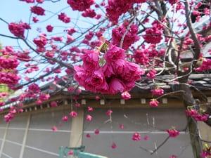 寒緋桜のアップ
