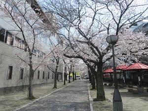 祇園白川の入り口の桜