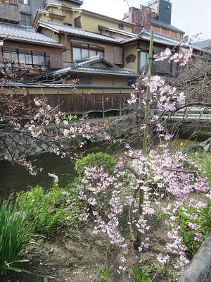 背が低い枝垂れ桜