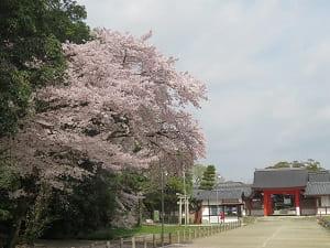 駐車場近くの桜