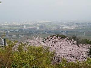展望台から見下ろす桜