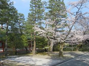 社務所玄関付近の桜