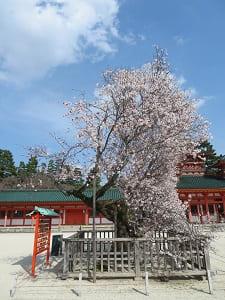 横から見た左近の桜