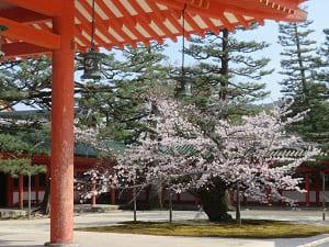 神楽殿近くの桜