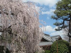 青空と枝垂れ桜