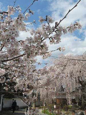 ソメイヨシノと枝垂れ桜