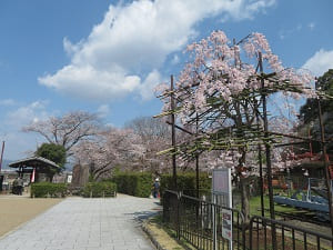 入り口付近の桜