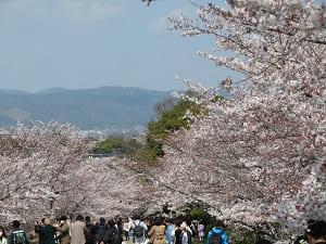 満開の桜と観光客
