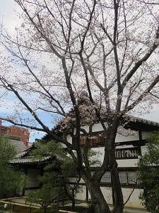 禅居庵の桜