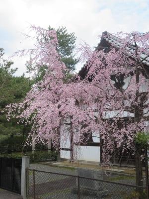 浴室前の枝垂れ桜