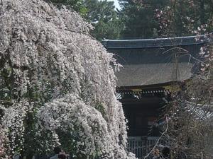 朔平門と糸桜