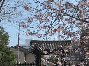 石薬師御門と彼岸桜