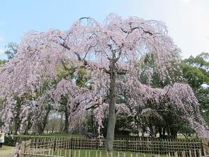 出水の枝垂れ桜