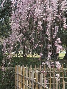 枝垂れ桜の枝先