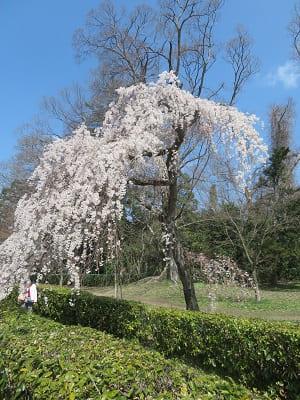 近衛邸跡の入り口の糸桜